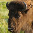 Stock Photo: North AmericBuffalo