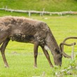 Stock Photo: Male alaskcaribou