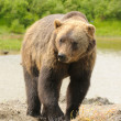 Alaskan Grizzly bear — Stock Photo