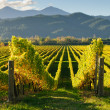 View of the vineyards in the Marlborough district — Stock Photo #30505025