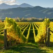 Stock Photo: View of vineyards in Marlborough district