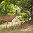 Stock Photo: CaliforniBlack-tailed deer