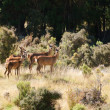 Stock Photo: Group of female Red Deer