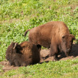 Stock Photo: North AmericBisons
