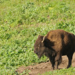 Stock Photo: North AmericBison