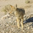 Stock Photo: Coyotes in Death Valley