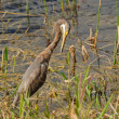 Non-Breeding Tricolored Heron — Stock Photo