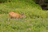 Young male Mule deer — Stock Photo
