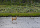 Female mule deer in river — Stock Photo