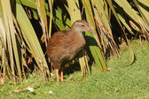 Closeup of a Weka bird — Stock Photo