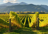 View of the vineyards in the Marlborough district — Stock Photo