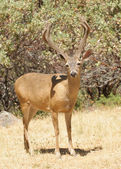 Californische black-tailed buck — Stockfoto