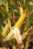 Corn on the cob growing in a field — Stock Photo