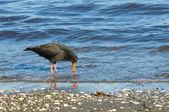 New Zealand bird Variable (Haematopus unicolor) Oystercatcher — Stock Photo