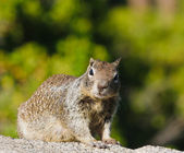 Ground squirrel — 图库照片