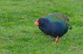 Takahe bird — Stock Photo