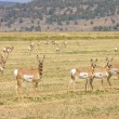 Stock Photo: North AmericPronghorn