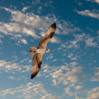 Stock Photo: Osprey in sky