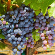 Stock Photo: Ripening red grape