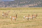 Antilope d'Amérique du Nord Amérique — Photo