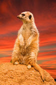 Meerkat on the big stone — Stock Photo