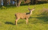 Psoun buck — Stock fotografie