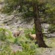 Rocky mountain sheep — Stock Photo #42162617
