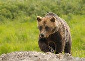 Alaskan Grissly bear — Stock Photo