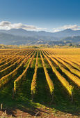 Vineyard in the Marlborough — Stock Photo
