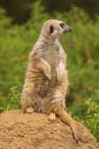 Beautiful meerkat — Stock Photo
