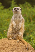 Meerkat lookout for predators — Stock Photo