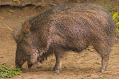 Peccary feeding — Stock Photo