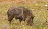 Javelina — Stock Photo