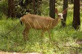 黑尾鹿 — 图库照片