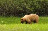 Svartbjörn — Stockfoto