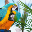 Stock Photo: Blue and yellow macaw