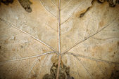 Dry leave texture — Stock Photo
