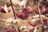 Bunch of hawthorn red berries — Stock Photo