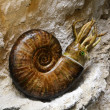Prehistoric ammonite — Stock Photo