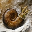 Stock Photo: Prehistoric ammonite