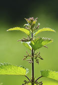 Nettle on a green background — Stock Photo