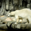 Polar bear — Stock Photo #39112991