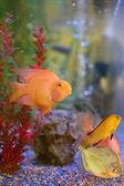 Aquarium tank close up with cute fish — Stock Photo