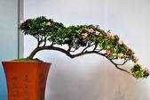 Azalea tree — Stock Photo