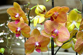 Polychrome butterfuly orchids — Stock Photo