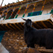 Goat Traditional Stone House Nako India — Stock Photo
