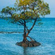 Stock Photo: Centered Solitary Mangrove Tree Roots Ocean