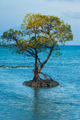 Centered Solitary Mangrove Tree Roots Ocean — Stock Photo