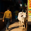 White Cow Narrow Alley Street Varanasi India — Stock Photo