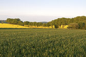 Rape Fields in the Evening Sun — Stock Photo